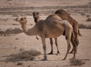 Qatar has the highest density of camels in the Middle East.
