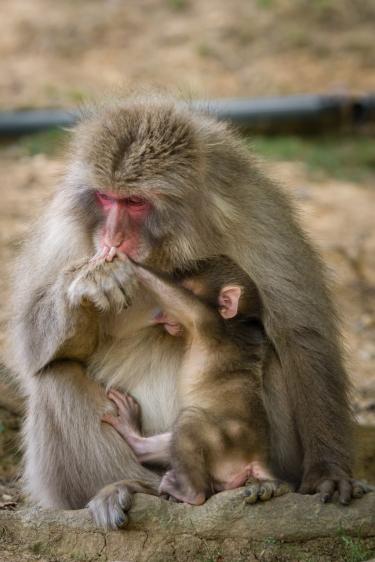 Japanese macaque monkeys in the grounds of Iwatayama Monkey Park in the Arashiyama district of Kyoto (Japan)